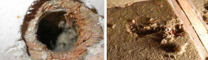 Последствия поселения грызунов